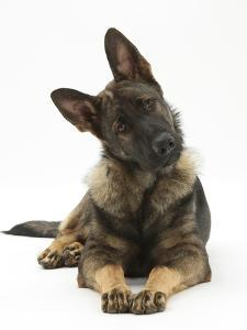 German Shepherd Dog Looking Inquisitively with Tilted Head by Mark Taylor