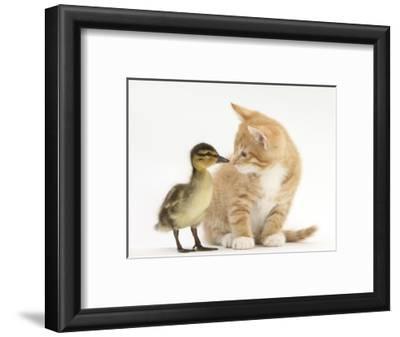 Ginger Kitten and Mallard Duckling, Beak to Nose