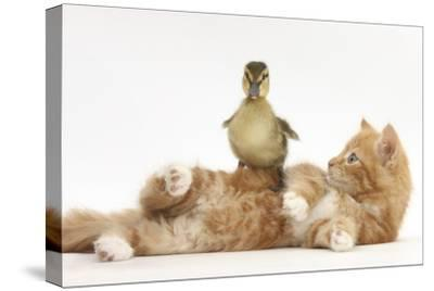 Ginger Kitten Lying on its Back with a Mallard Duckling Walking over It