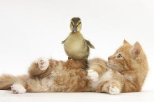Ginger Kitten Lying on its Back with a Mallard Duckling Walking over It by Mark Taylor