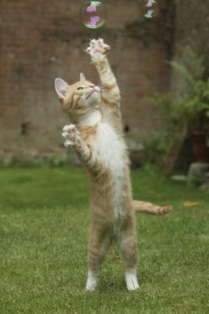 Ginger Kitten Swiping at a Soap Bubble by Mark Taylor