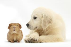 Golden Retriever Puppy, 16 Weeks, Looking at Red Guinea Pig by Mark Taylor