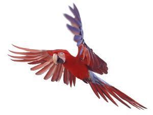 Green Winged Macaw {Ara Chloroptera} in Flight, Captive by Mark Taylor