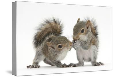 Grey Squirrels (Sciurus Carolinensis) Two Young Hand-Reared Babies Portrait