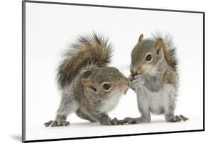 Grey Squirrels (Sciurus Carolinensis) Two Young Hand-Reared Babies Portrait by Mark Taylor