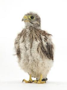 Kestrel (Falco Tinnunculus) Hand-Reared Chick Portrait by Mark Taylor