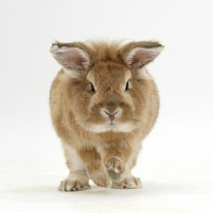 Lionhead X Lop Rabbit, Tedson, Running, Against White Background by Mark Taylor