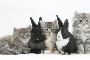 Maine Coon Kittens, 8 Weeks, with Baby Dutch X Lionhead Rabbits by Mark Taylor