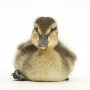 Mallard Duckling (Anas Platyrhynchos) Portrait, Sitting, Aged 1 Week by Mark Taylor