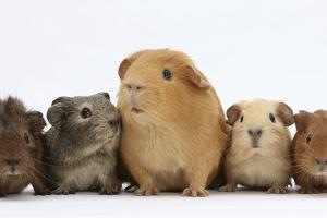 Mother Guinea Pig and Four Baby Guinea Pigs, Each a Different Colour by Mark Taylor