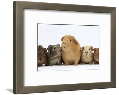 Mother Guinea Pig and Four Baby Guinea Pigs, Each a Different Colour