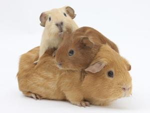 Mother Guinea Pig with Two Babies Riding on Her Back by Mark Taylor