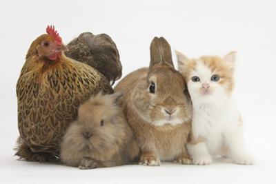 Partridge Pekin Bantam with Kitten, Sandy Netherland Dwarf-Cross and Baby Lionhead-Cross Rabbit