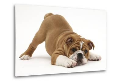 Playful Bulldog Puppy, 11 Weeks, in Play-Bow