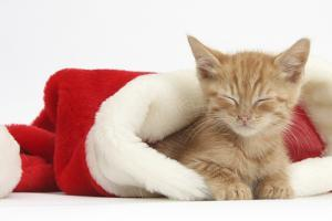 Sleepy Ginger Kitten, 5 Weeks, in a Father Christmas Hat by Mark Taylor