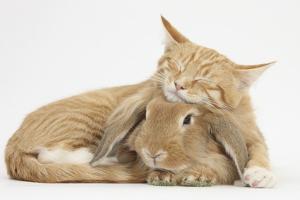 Sleepy Ginger Kitten with Sandy Lionhead-Lop Rabbit by Mark Taylor