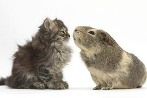 Tabby Kitten, 10 Weeks, with Guinea Pig by Mark Taylor
