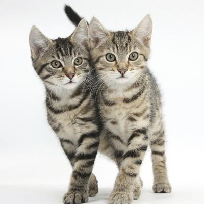 Tabby Kittens, Stanley and Fosset, 12 Weeks, Walking Together in Unison
