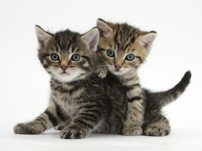 Tabby Kittens, Stanley and Fosset, 6 Weeks