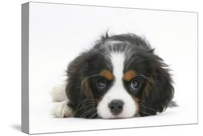 Tricolour Cavalier King Charles Spaniel Puppy, Lying with Chin on Floor