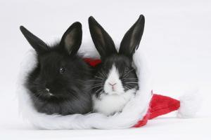 Two Baby Dutch X Lionhead Rabbits in a Father Christmas Hat by Mark Taylor