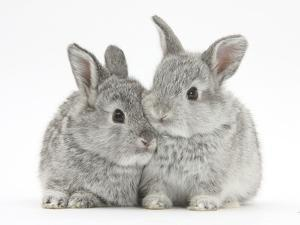Two Baby Silver Rabbits by Mark Taylor