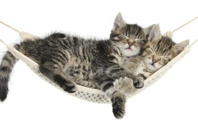 Two Cute Tabby Kittens, Stanley and Fosset, 7 Weeks, Sleeping in a Hammock