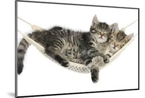 Two Cute Tabby Kittens, Stanley and Fosset, 7 Weeks, Sleeping in a Hammock by Mark Taylor