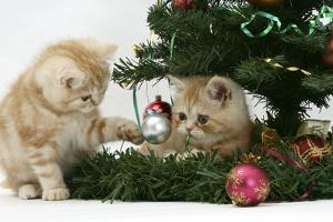 Two Ginger Kittens Playing with Decorations in a Christmas Tree by Mark Taylor