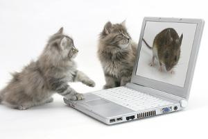 Two Maine Coon Kittens Looking at an Image of a Mouse on a Laptop Computer by Mark Taylor