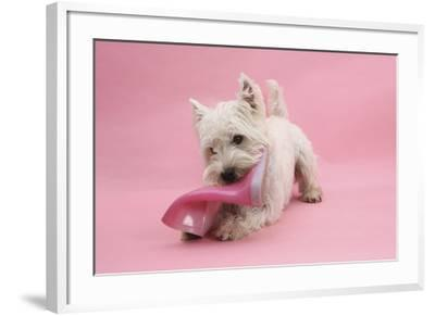 West Highland White Terrier Biting a Pink Boot Against a Pink Background