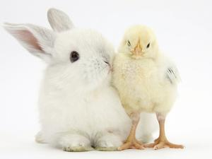 White Rabbit and Yellow Bantam Chick by Mark Taylor