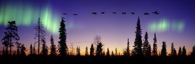 Whooper Swans (Cygnus Cygnus) Flying Against Aurora Borealis at Sunrise. Finland