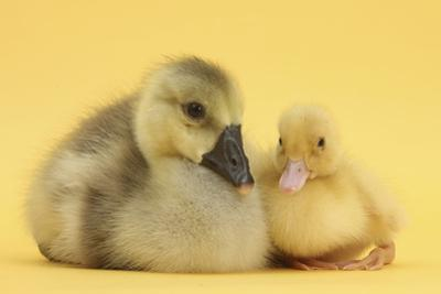Yellow Gosling and Duckling on Yellow Background by Mark Taylor