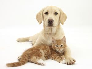 Yellow Labrador Puppy and Ginger Kitten by Mark Taylor