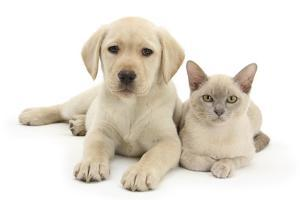 Yellow Labrador Retriever Bitch Puppy, 9 Weeks, and Young Burmese Cat by Mark Taylor
