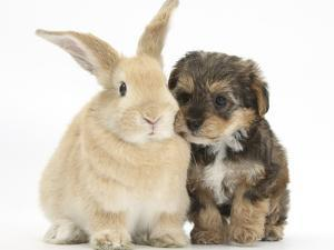 Yorkipoo Pup, 6 Weeks Old, with Sandy Rabbit by Mark Taylor