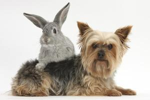 Yorkshire Terrier and Young Silver Rabbit by Mark Taylor