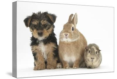 Yorkshire Terrier-Cross Puppy, 8 Weeks, with Guinea Pig and Sandy Netherland Dwarf-Cross Rabbit
