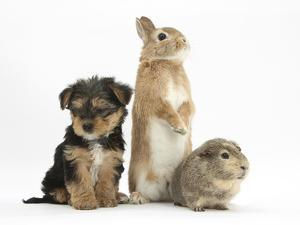 Yorkshire Terrier-Cross Puppy, 8 Weeks, with Guinea Pig and Sandy Netherland Dwarf-Cross Rabbit by Mark Taylor