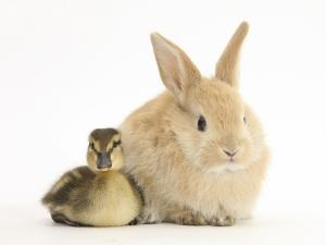 Young Sandy Lop Rabbit and Mallard Duckling Sitting Next to Each Other by Mark Taylor