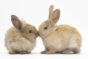 Young Sandy Rabbits Kissing by Mark Taylor