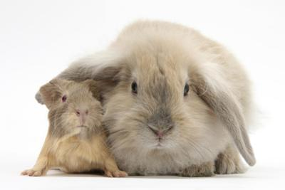 Young Windmill-Eared Rabbit and Matching Guinea-Pig