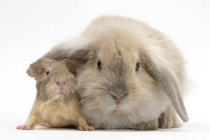 Young Windmill-Eared Rabbit and Matching Guinea-Pig by Mark Taylor