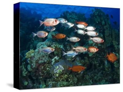 Big Eye Squirrel Fish Shoal, St. John's Reef