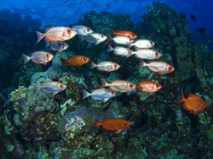 Big Eye Squirrel Fish Shoal, St. John's Reef by Mark Webster