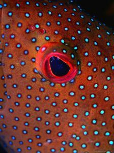 Close Up of Blue Spotted Grouper, St. Anne Sandy Point, St. Kitts & Nevis by Mark Webster