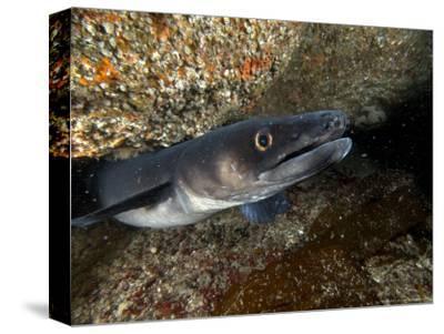 Conger Eel, Emerging from Rock Crevice, UK