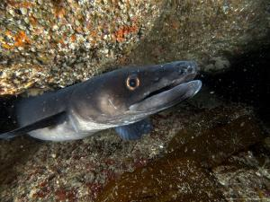 Conger Eel, Emerging from Rock Crevice, UK by Mark Webster