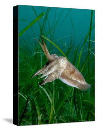 Cuttlefish, Mounts Bay, UK